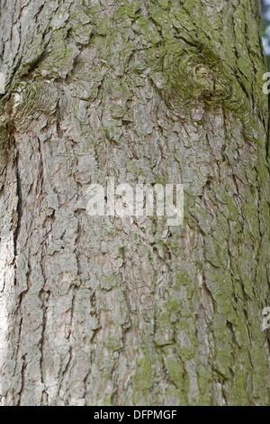 european black pine, pinus nigra - Stock Photo