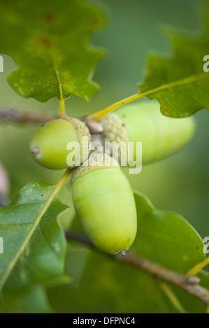sessile oak, quercus petraea - Stock Photo