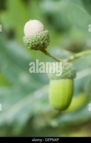 common oak, quercus robur - Stock Photo