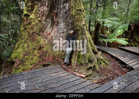 Swamp Gum Eucalyptus regnans, one of the tallest tree species in the world  Styx Valley of the Giants, Tasmania, - Stock Photo
