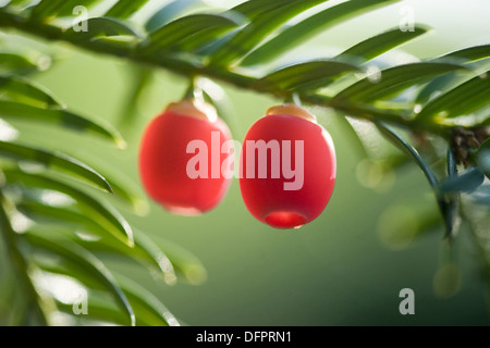 european yew, taxus baccata - Stock Photo