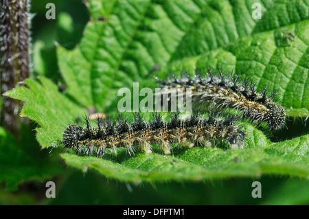 Small Tortoiseshell Butterfly - Aglais urticae Caterpillar on Nettle leaf - Stock Photo