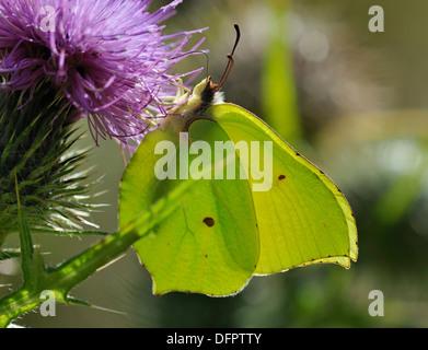 Brimstone Butterfly - Gonepteryx rhamni Male, Underside, on Spear Thistle - Cirsium vulgare - Stock Photo