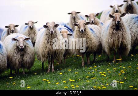 Latza sheep. Collado de Idoia. G.R.11 (Long-distance trails). Navarre, Spain - Stock Photo