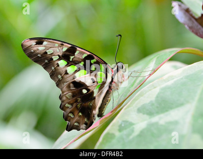 Tailed jay butterfly (Graphium agamemnon) siitting on the green plant. - Stock Photo