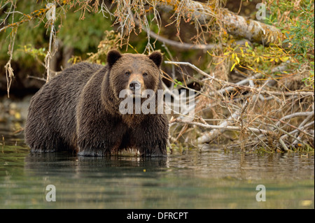 Grizzly bear, Ursus arctos, Hunting sockeye salmon in a salmon river, Chilcotin Wilderness, BC Interior, Canada - Stock Photo