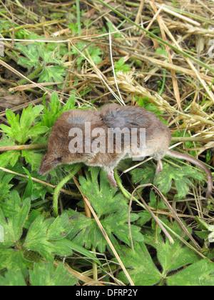 Dead Common Shrew ( Sorex araneus ), UK - Stock Photo