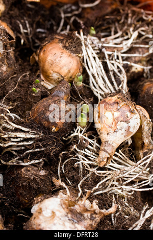 Stored narcissus bulbs ready for re-planting in the Autumn. - Stock Photo