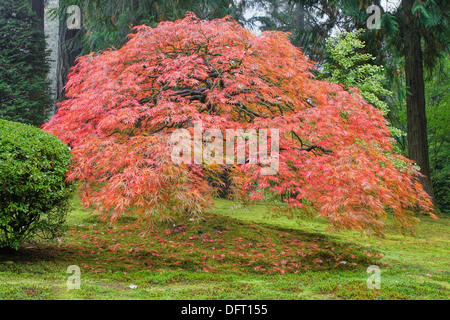 Old Japanese Laced Leaf Red Maple Tree in Autumn Season with Green Moss - Stock Photo