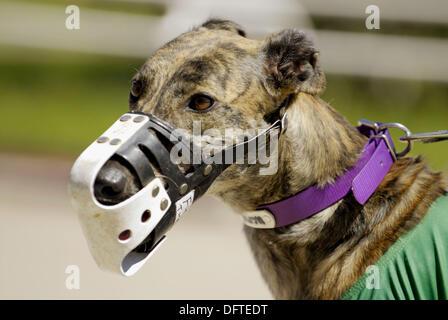 Greyhound dog racing at the Sarasota Kennel Club. Florida. USA - Stock Photo