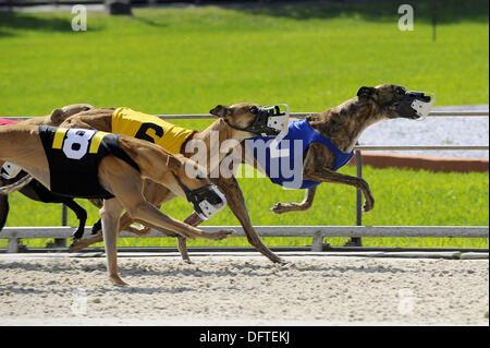 Greyhound dog racing at Fort Myers Naples dog track Florida - Stock Photo