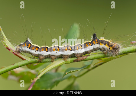 Caterpillar of a Grey Dagger Moth (Acronicta psi), Burgenland, Austria - Stock Photo