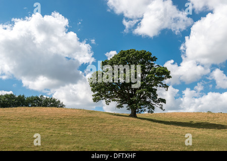 OAK TREE IN HIGH SUMMER ON GRASS COVERED HILLS WITH BLUE SKY AND WHITE CLOUDS. HEDGE AT TOP OF HILL. UK PORTRAIT - Stock Photo