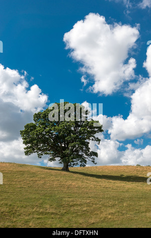 OAK TREE IN HIGH SUMMER ON GRASS COVERED HILLS WITH BLUE SKY AND WHITE CLOUDS UK PORTRAIT FORMAT - Stock Photo
