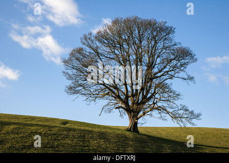 OAK TREE IN WINTER SOUTH WALES WITH BARE BRANCHES And LONG SHADOWS AGAINST BLUE SKY UK - Stock Photo