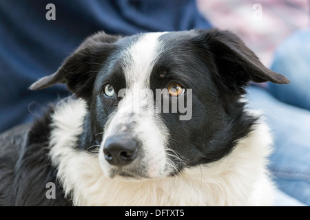 BORDER COLLIE SHEEP DOG WITH ONE BLUE EYE AND ONE BROWN EYE - Stock Photo