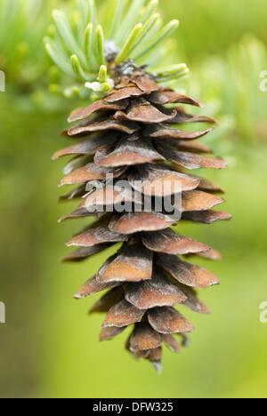 Black Spruce (Picea mariana) seed cone - Stock Photo