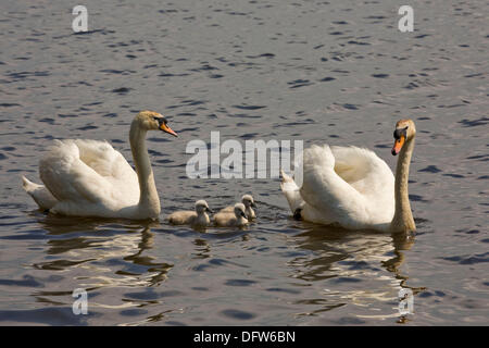 Mute swans with three cygnets , cygnus olor latin - Stock Photo