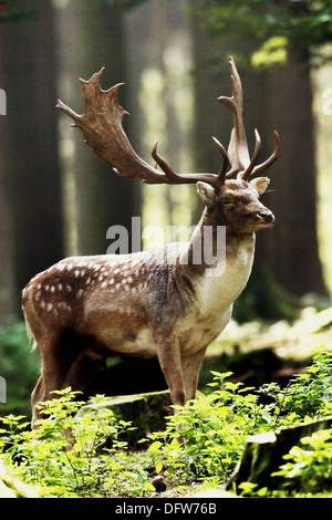 Fallow Deer (Dama dama) male standing in a foggy forest - Stock Photo