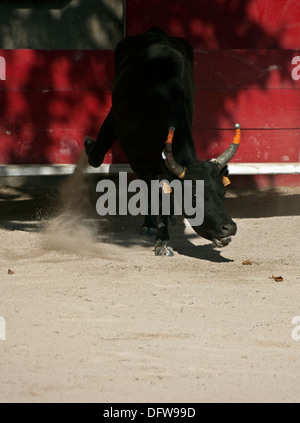 French bull fighting,Course Camarguaise,Bullfighting, Fontvieille France,Bull pawing ground getting ready to charge, - Stock Photo