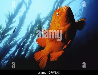 Garibaldi state fish of California. USA. - Stock Photo