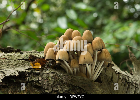 Clustered woodlover a common woodland mushroom sprouting fruiting bodies from crevice in fallen silver birch tree - Stock Photo