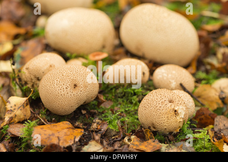 Cluster of Pigskin poison puffballs common earthball on woodland floor beneath silver birch trees in Autumn - Stock Photo