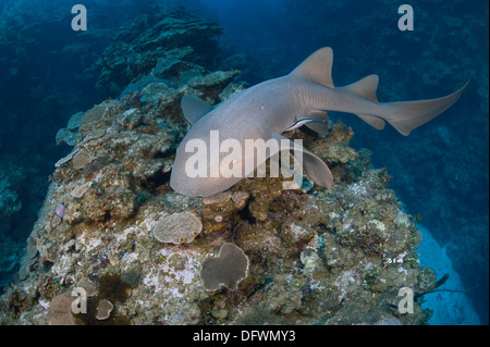 Wild nurse shark (Ginglymostoma cirratum) swims during the day at Mesoamerican barrier reef. - Stock Photo