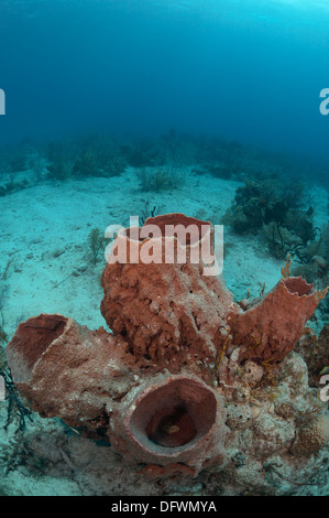 Huge Caribbean barrel sponge at the Mesoamerican barrier reef. The photo is taken in Ambergris Cayes, Belize.