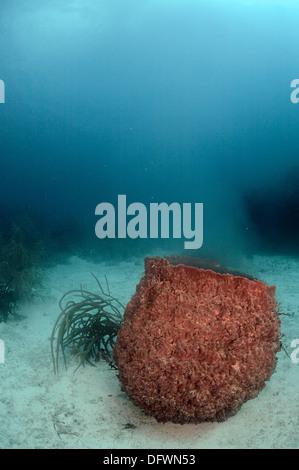 Caribbean barrel sponge is spawning at the Mesoamerican barrier reef.