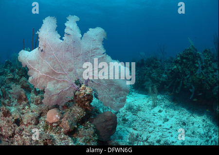 Large and healthy soft corals of Mesoamerican barrier reef in the crystal clear blue waters of Ambergris Caye, Belize. - Stock Photo