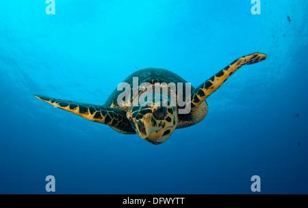 Close-up head on view of a hawksbill sea turtle (Eretmochelys imbricata), Bunaken National Park, Sulawesi, Indonesia. - Stock Photo