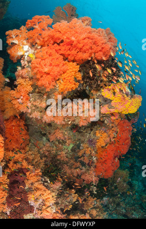 Colorful reefs in Raja Ampat covered in orange Dendronephthya soft corals, West Papua, Indonesia. - Stock Photo
