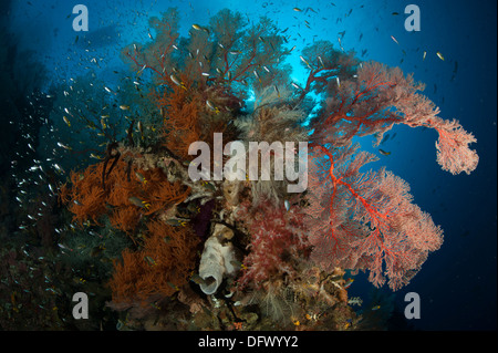 Reefscape with black coral and gorgonian sea fan, Raja Ampat, Indonesia. - Stock Photo