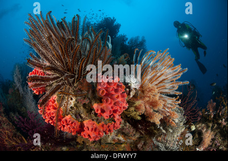 Diver looks on at a Raja Ampat reefscape covered in crinoids, West Papua, Indonesia. - Stock Photo
