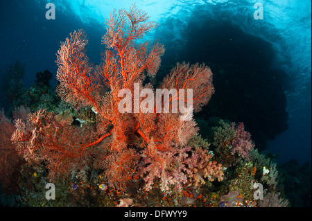 Reefscape in Raja Ampat covered in gorgonians, West Papua, Indonesia. - Stock Photo