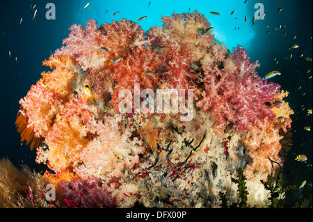 A dead table coral, now covered in healthy soft corals, taken at Neptune Fan Sea, Raja Ampat, West Papua, Indonesia. - Stock Photo