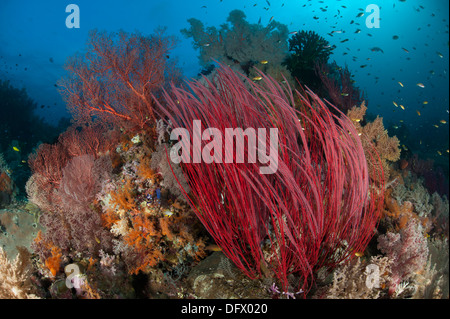 Reefscape with grand sea whip (Ellisella grandis) and gorgonian sea fans, Raja Ampat, Indonesia. - Stock Photo