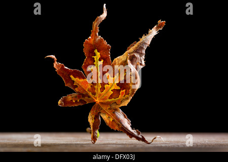 Dried autumn Japanese Red Maple leaf that has fallen from the tree appears to be a dancing Samurai warrior - Stock Photo