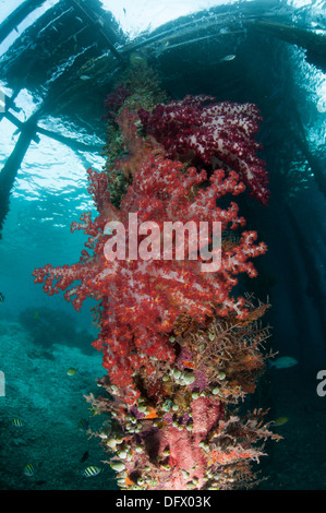 Soft corals (Dendronephthya sp.) adorn the legs of Arborek Jetty, Dampier Strait, Raja Ampat, Indonesia. - Stock Photo