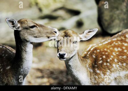 Two Fallow Deer (Dama dama) - Stock Photo