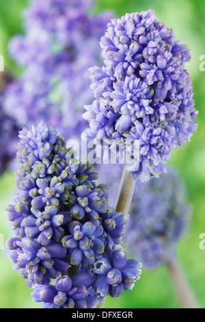Muscari armeniacum 'Blue Spike' Grape hyacinth Double flowered March