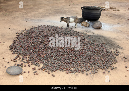 Lobi Village Scene With Pile Of Locally Grown Shea Nuts, Cooking Pot and Kid Goats - Stock Photo