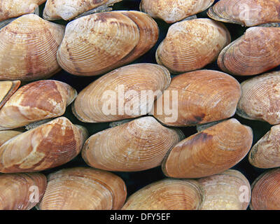 Clams, Class: Bivalvia, Representative mollusks. Bivalves have a shell with two halves. Filter feeders, they take - Stock Photo