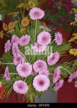 Pink Gerbera Daisy. Scientific Name: Gerbera jamesonii. It is a perennial herb native to South Africa. Leaves occur - Stock Photo