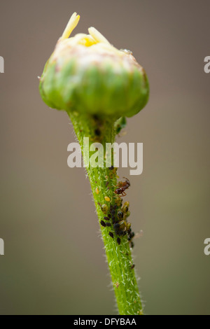 North West London suburban garden flora plant stem macro micro close up fauna insect ant aphid aphids black fly - Stock Photo