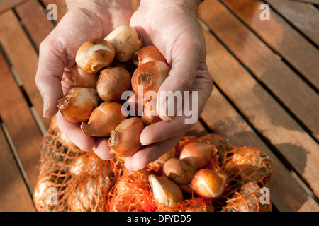 Man holding tulip bulbs England UK United Kingdom GB Great Britain - Stock Photo
