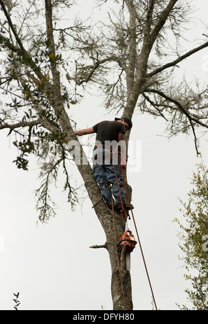 tree surgeon contemplates his situation atop dead tree - Stock Photo