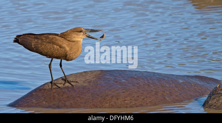 Hammerkop standing on Hippo's back and tossing a frog into the air. - Stock Photo