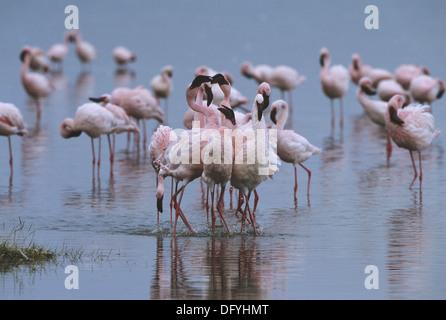 Lesser flamingos performing a courtship dance on the shoreline of Lake Nakuru, Kenya - Stock Photo